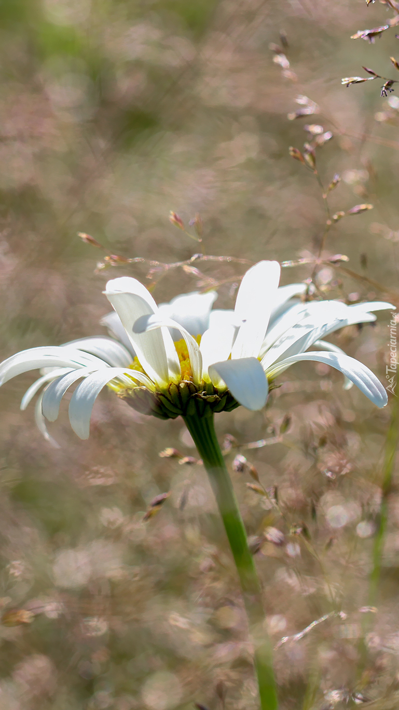 Margerytka w trawie