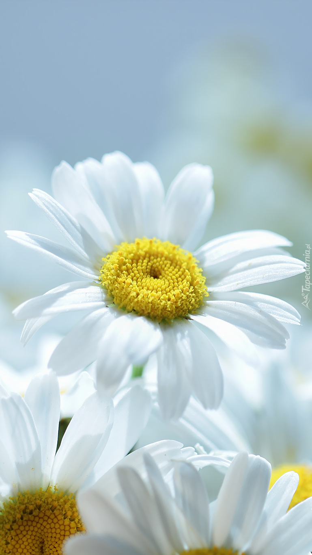 Margerytki białe