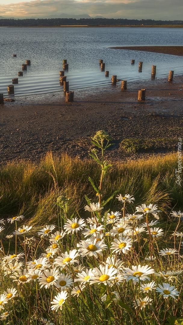 Margerytki na brzegu jeziora