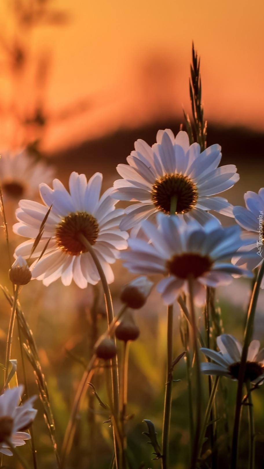 Margerytki w zachodzącym słońcu