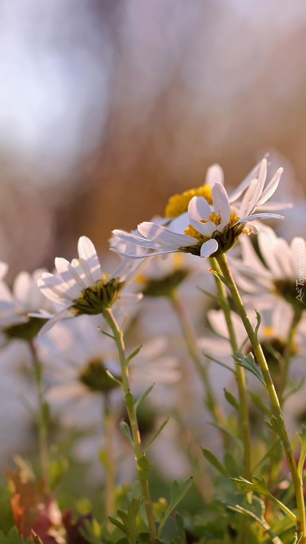 Margerytkowa łąka