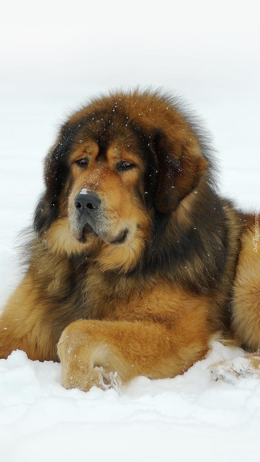 Mastif tybetański w śniegu