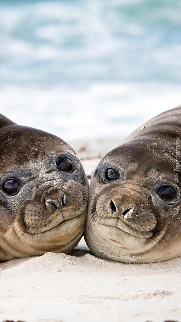 Mirungi leżące na piasku