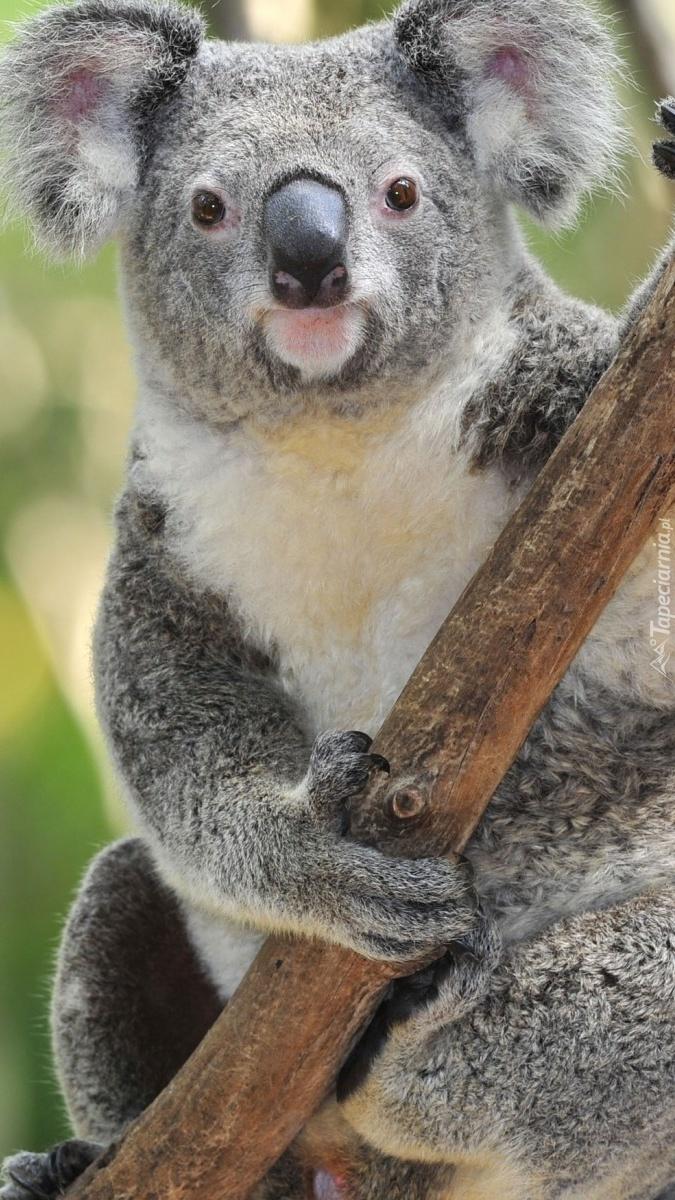 Miś koala na drzewie