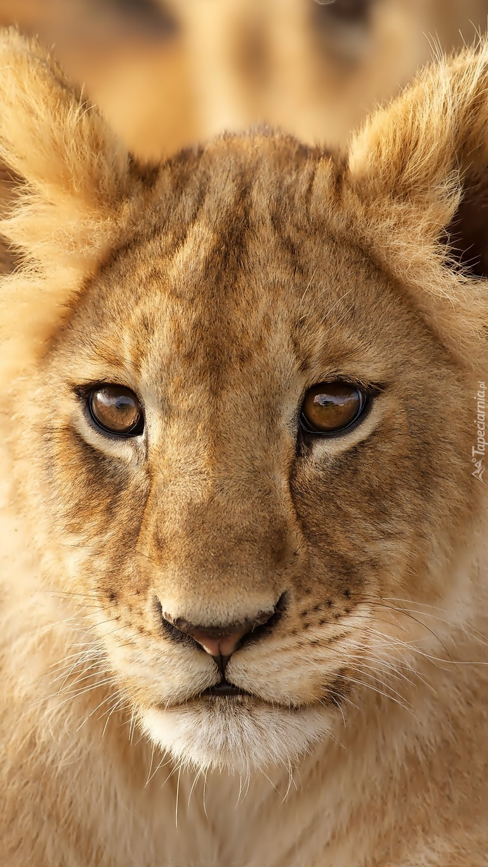 Młody lew na obrazku