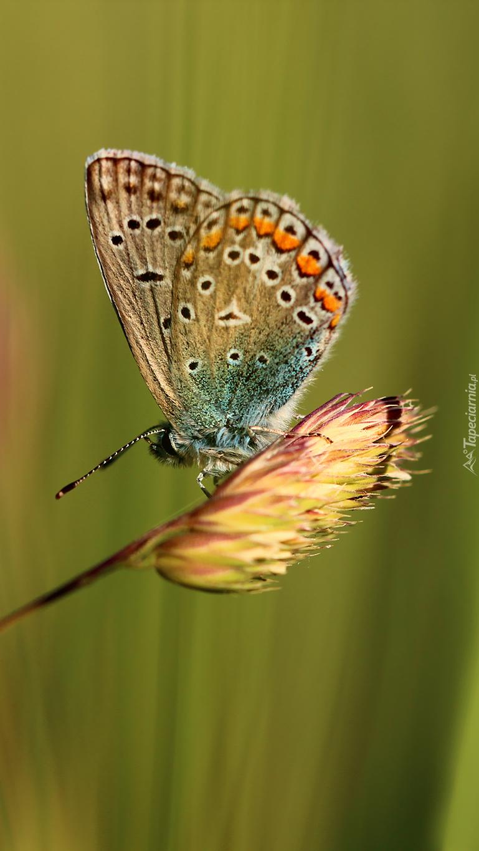Modraszek adonis na trawie