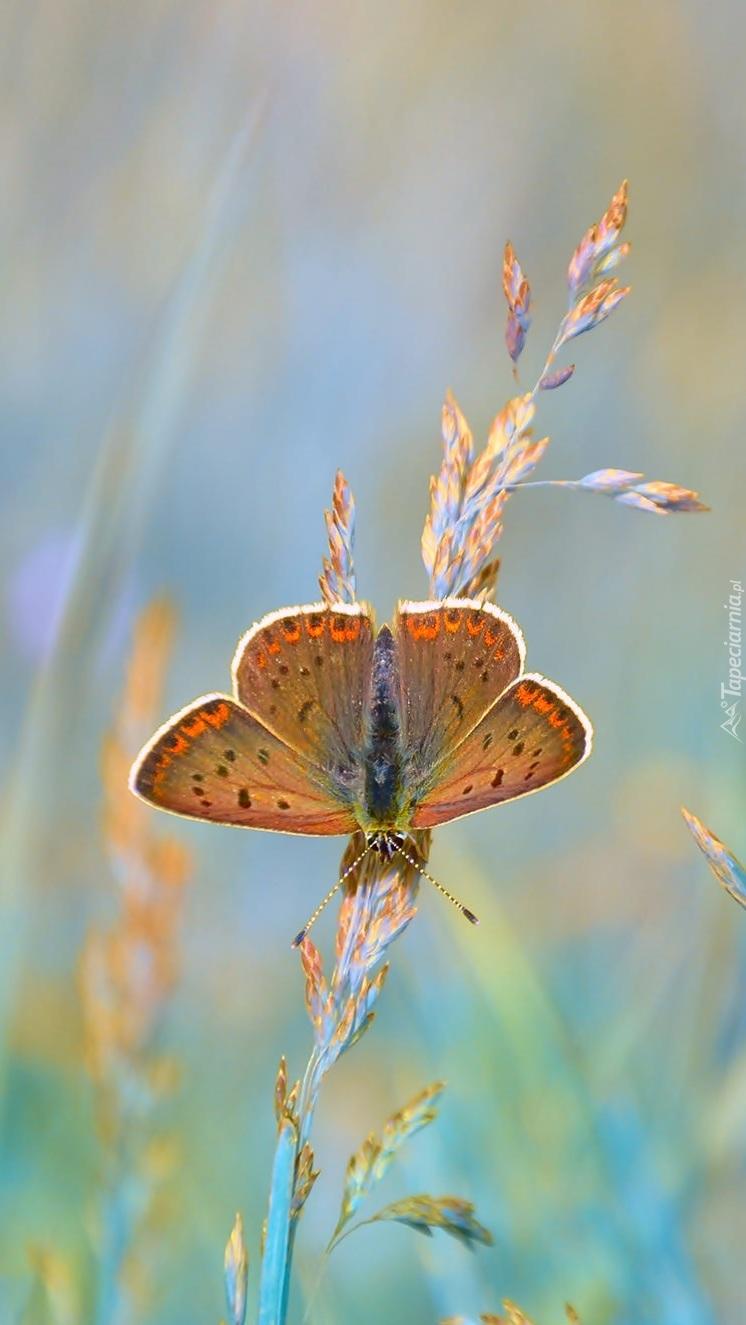 Modraszek ikar i źdźbła trawy