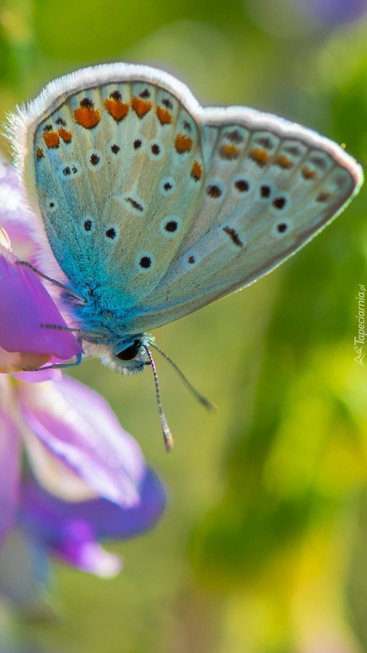 Modraszek ikar na kwiatku