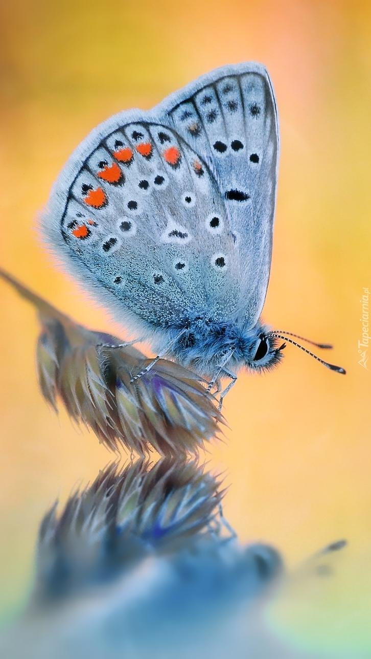 Modraszek ikar na roślince