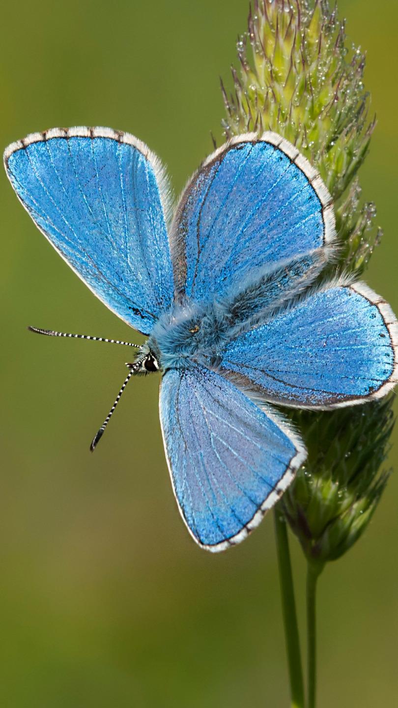 Modraszek ikar z rozpostartymi skrzydłami
