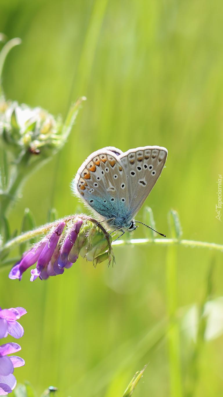Modraszek na kwiatku wyki