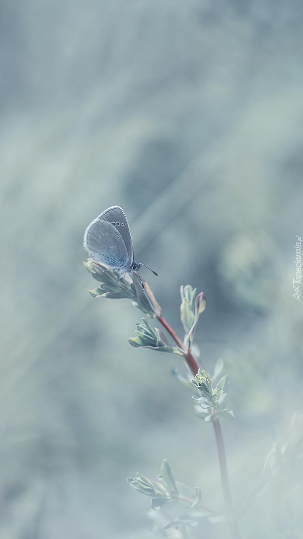 Modraszek niebieskawy na roślince
