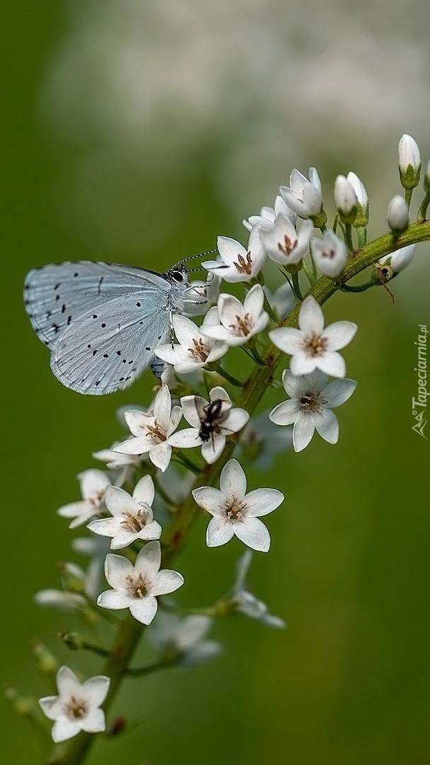 Modraszek wieszczek na kwiatku