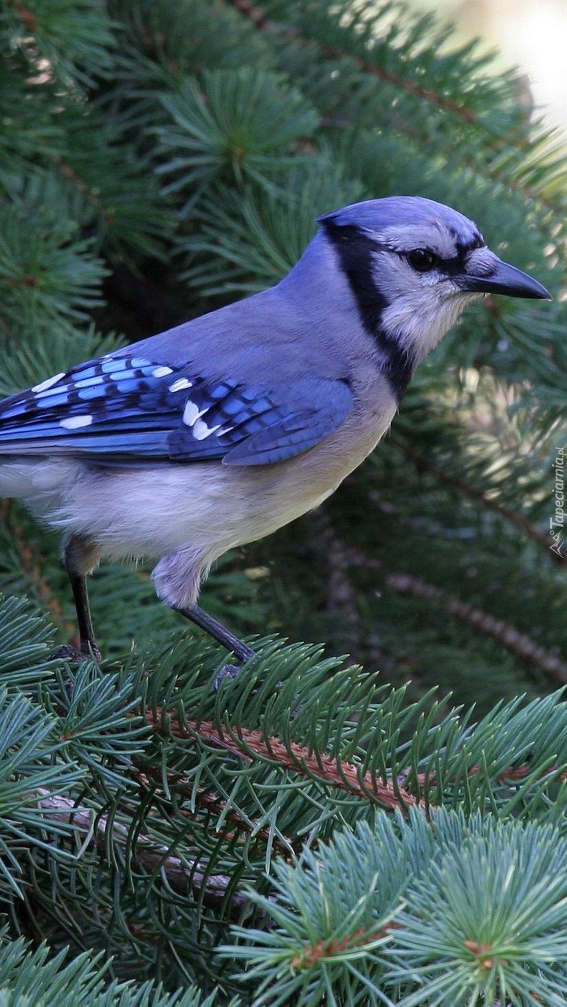 Modrosójka błękitna na świerkowej gałązce