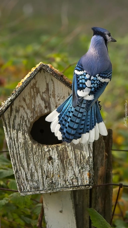 Modrosójka na budce lęgowej