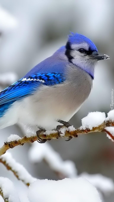 Modrosójka na ośnieżonej gałązce