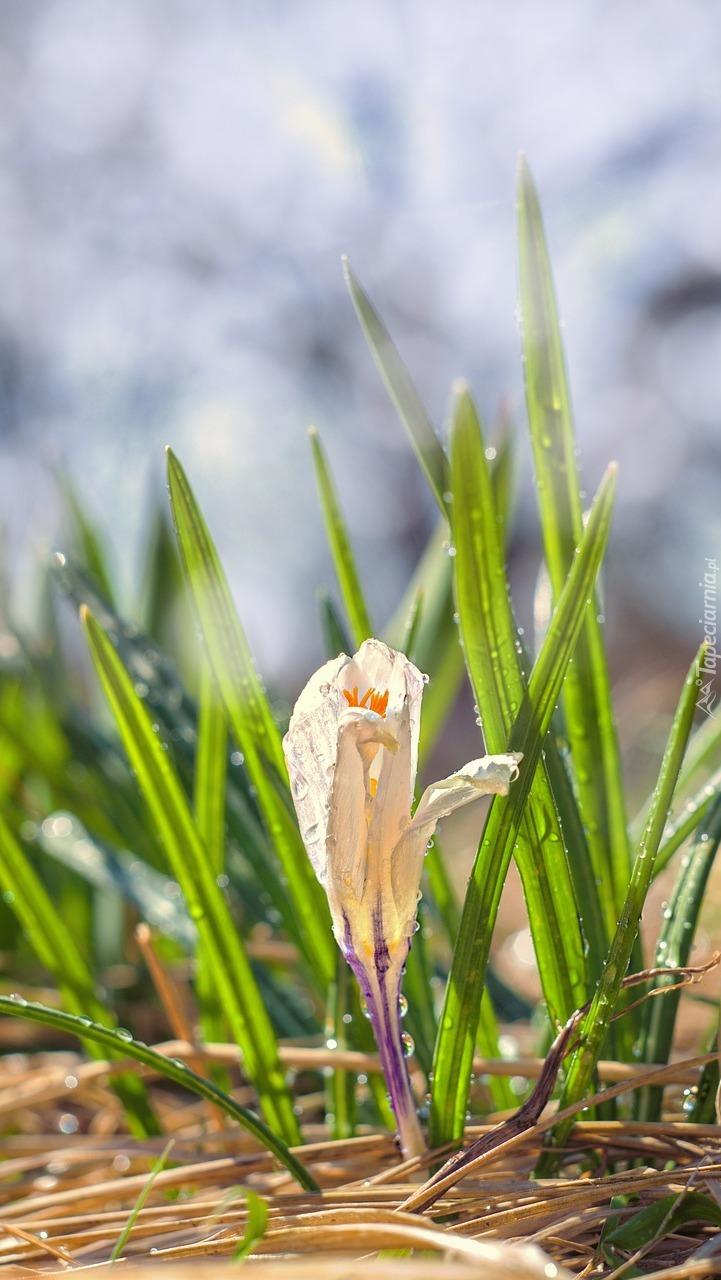 Mokry kwiat krokusa