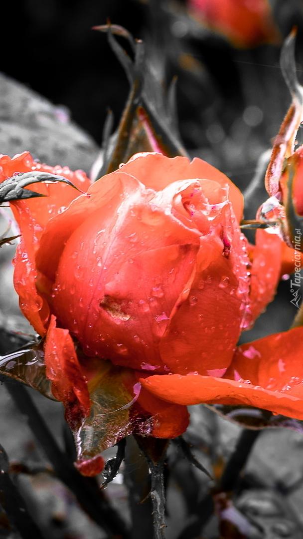 Mokry pąk róży