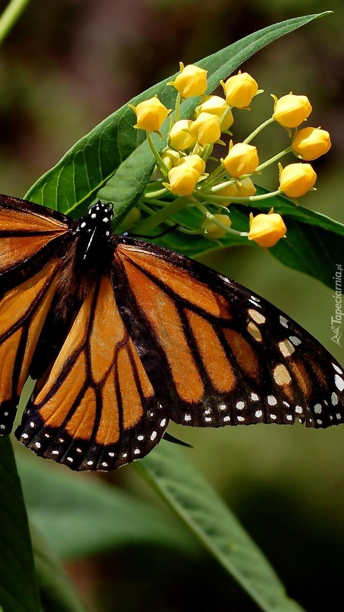 Monarcha na kwiatku