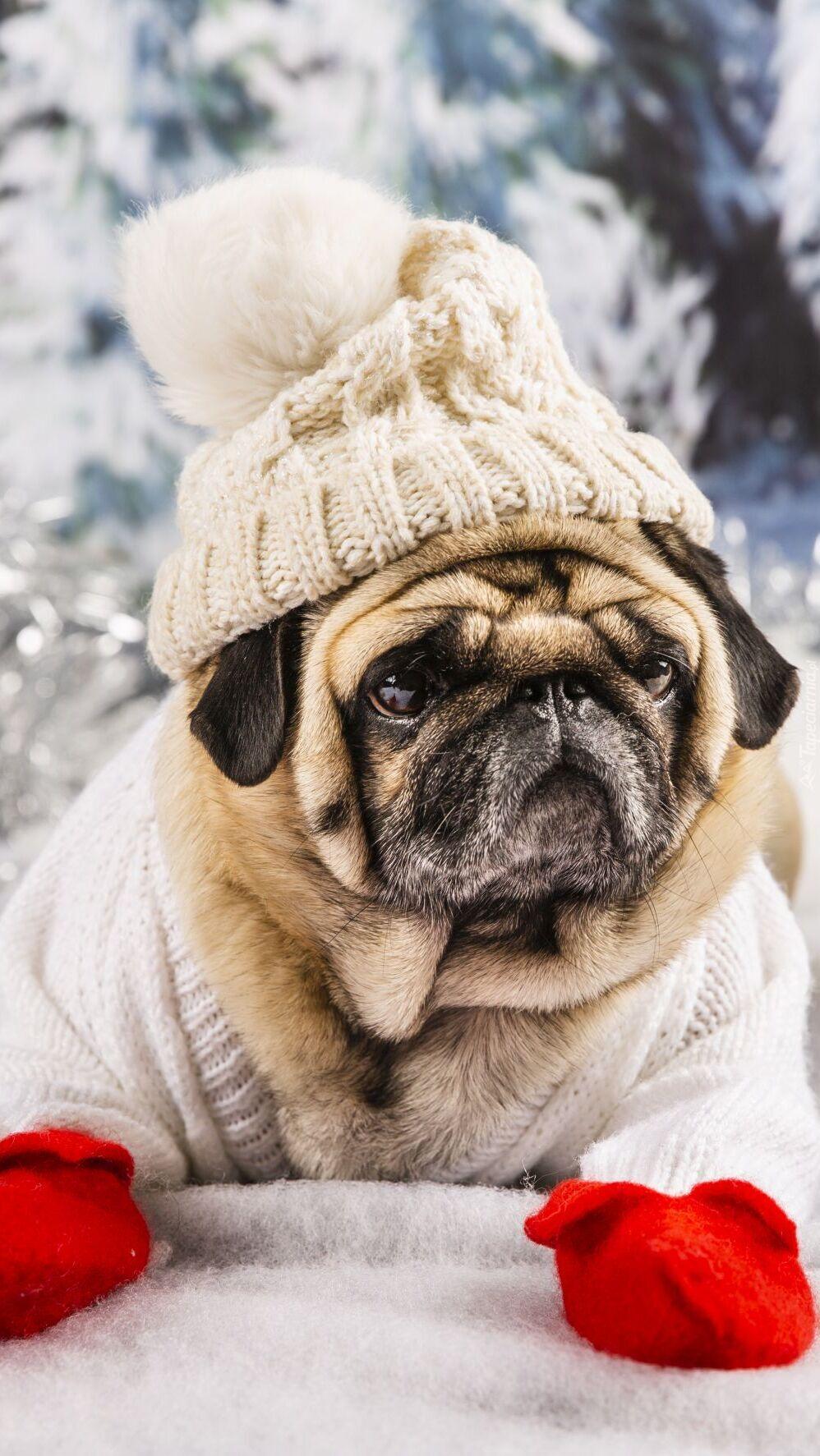 Mops w czapce i sweterku