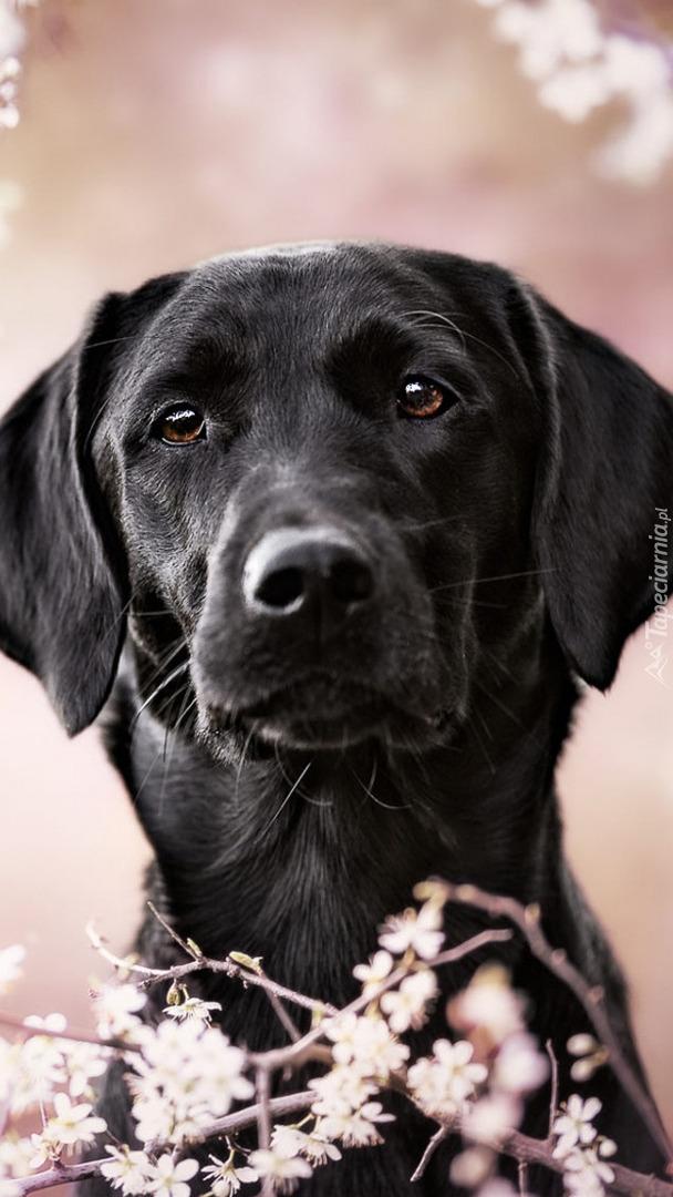 Mordka czarnego labradora