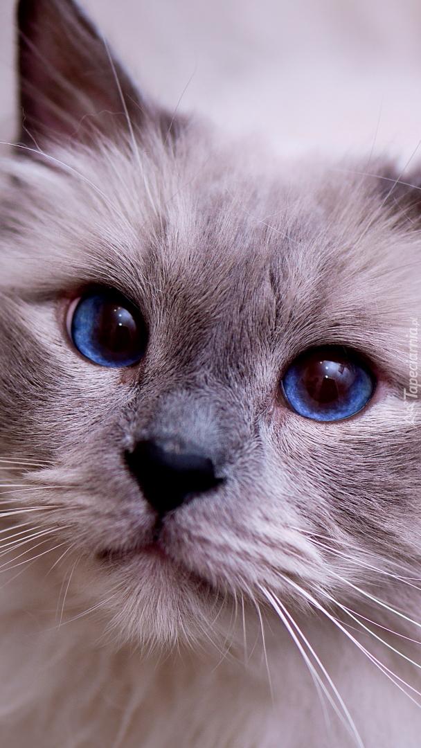 Mordka kota z granatowymi oczami