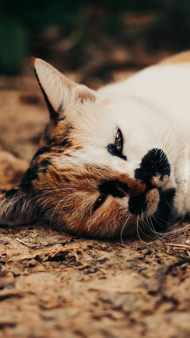 Mordka leżącego kota