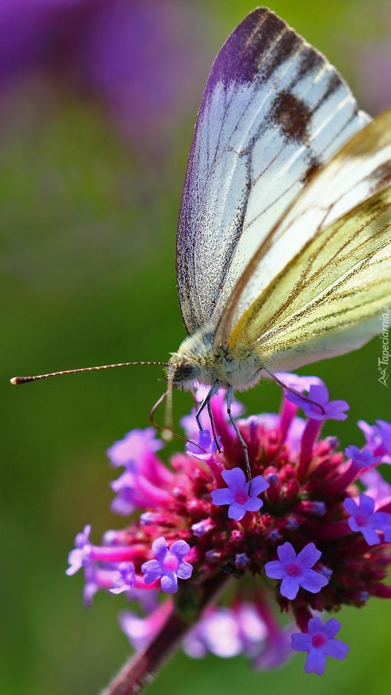 Motyl bielinek na kwiatku