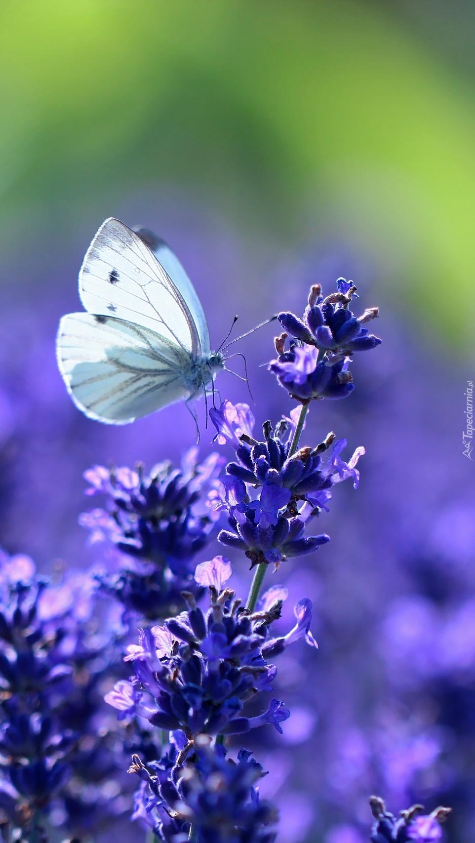 Motyl bielinek przysiadł na lawendzie