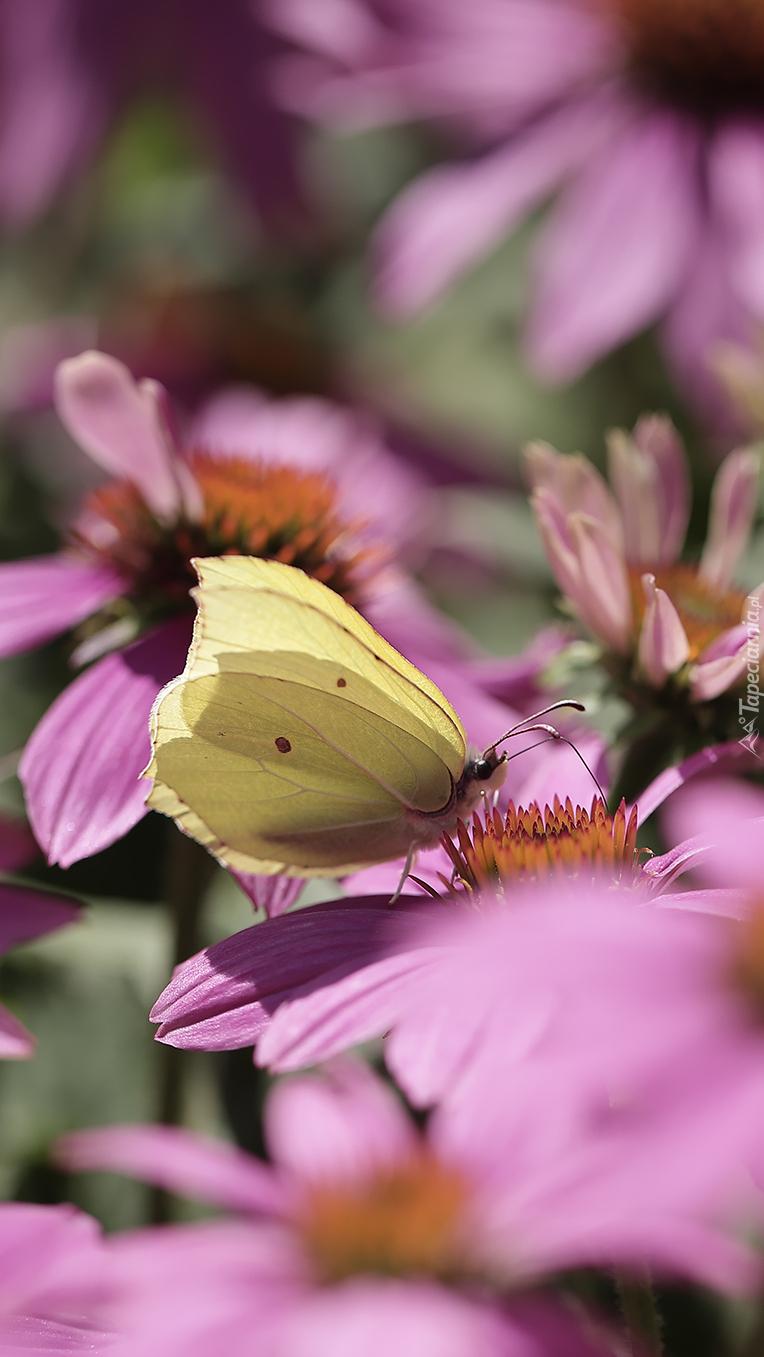Motyl cytrynek na różowej jeżówce