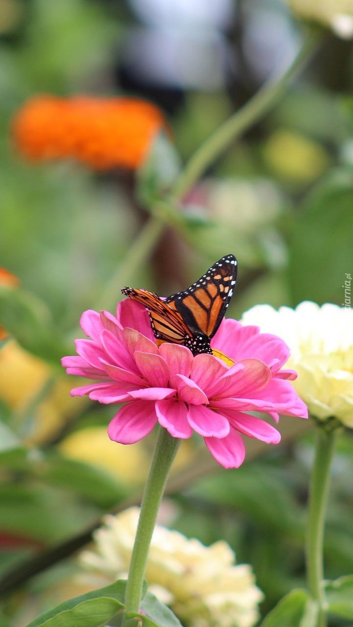 Motyl danaid wędrowny na kwiatku cyni