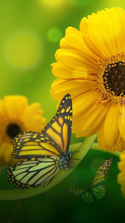 Motyl i żółte gerbery