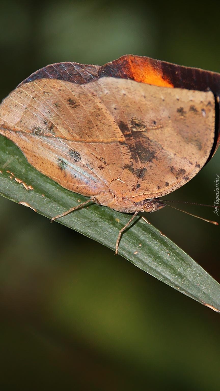 Motyl jak suchy liść