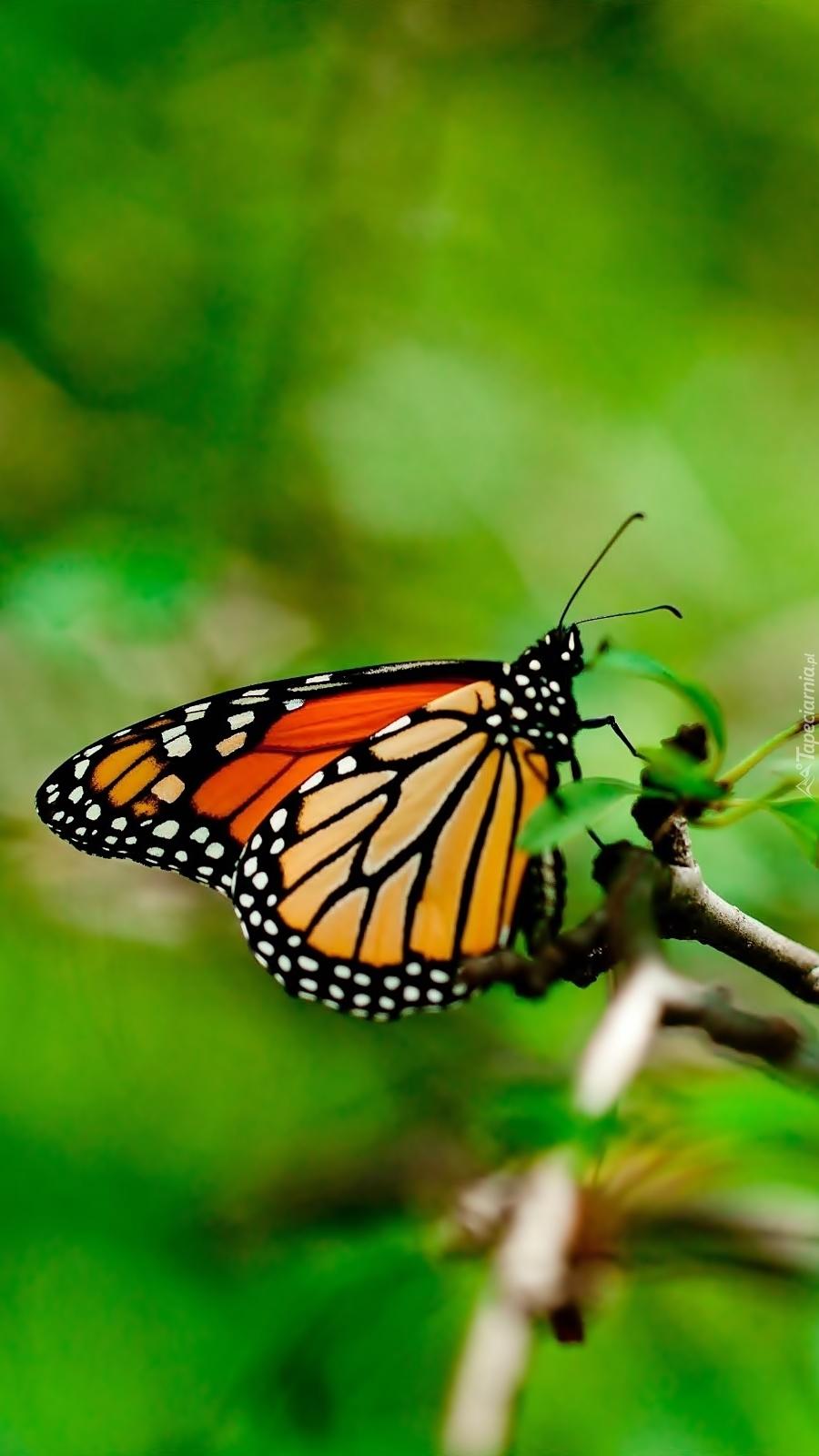 Motyl monarch na gałązce