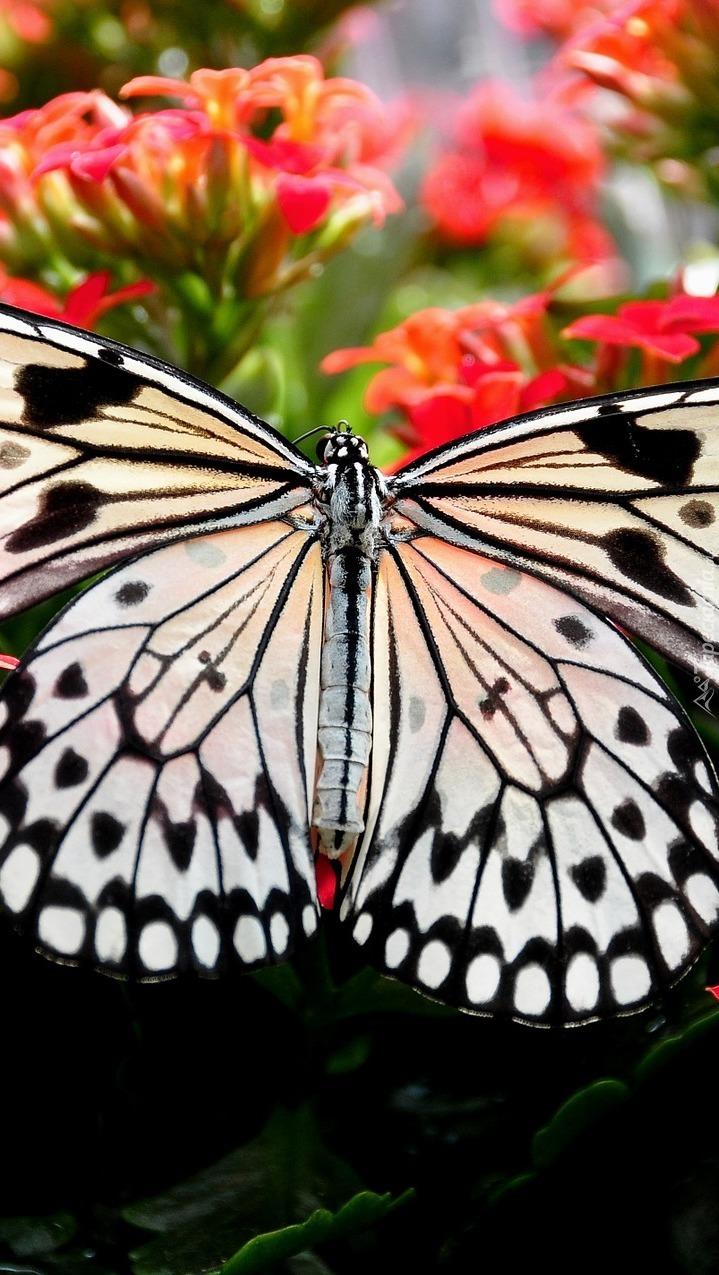 Motyl na czerwonych kwiatkach
