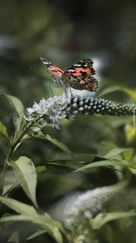 Motyl na kwiatku budlei