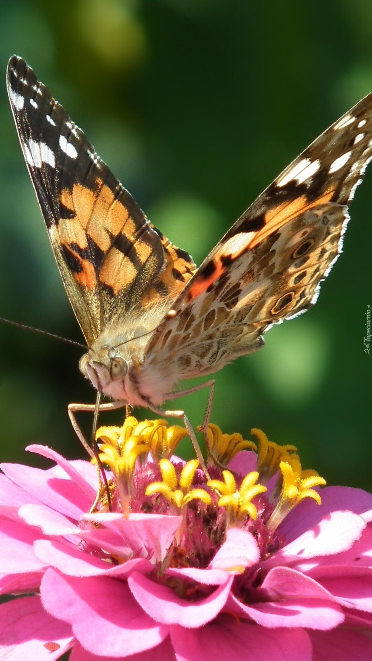 Motyl na kwiatku cynii