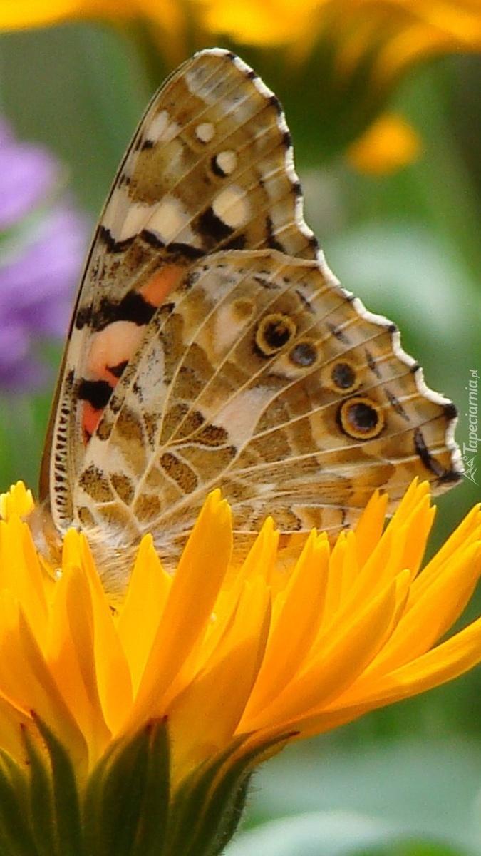 Motyl na kwiatku mniszka