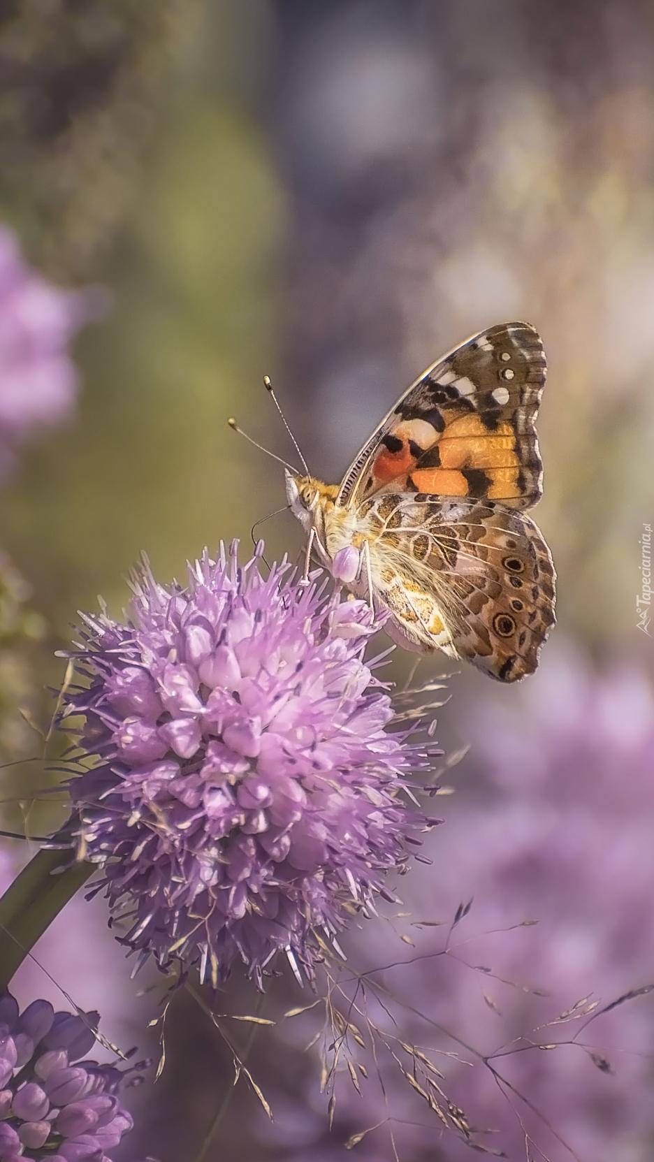 Motyl na liliowym kwiatku