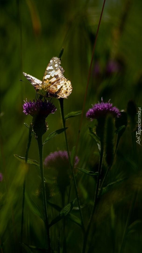Motyl na ostrożniu