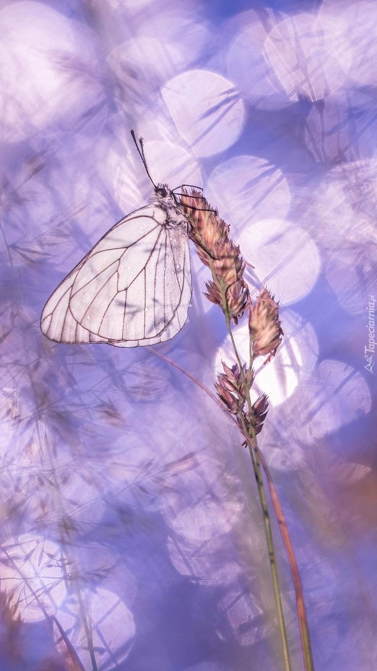 Motyl na źdźble trawy