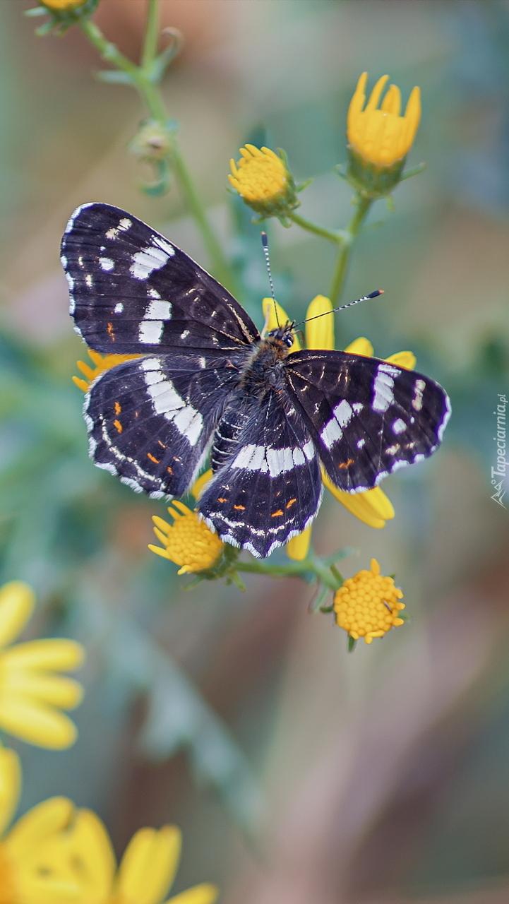 Motyl na żółtym kwiatku