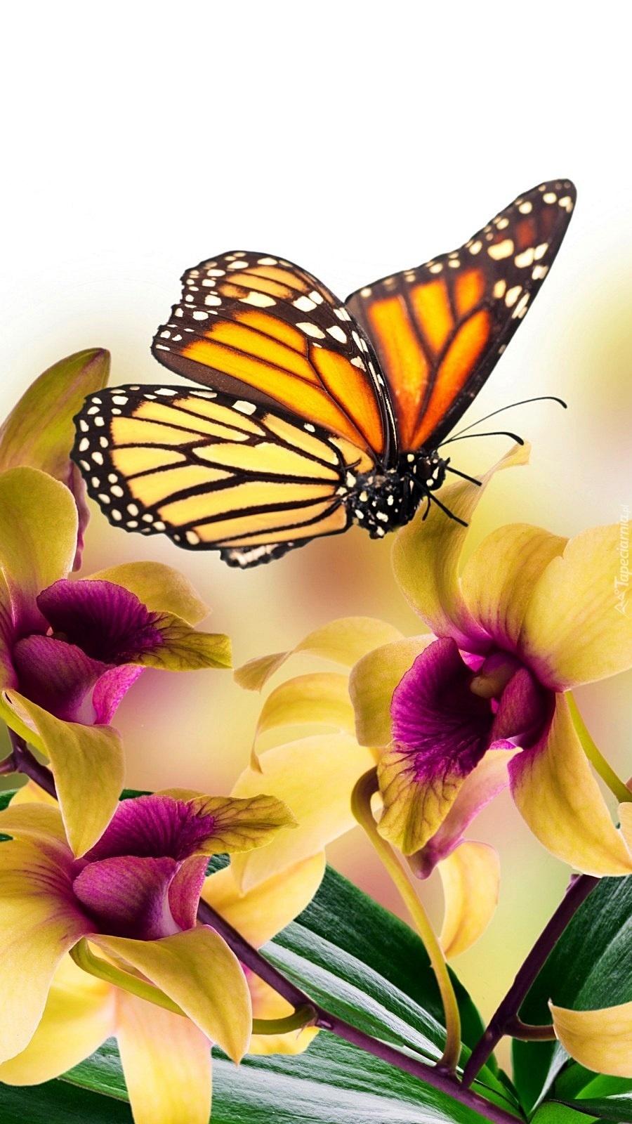 Motyl przysiadł na storczyku