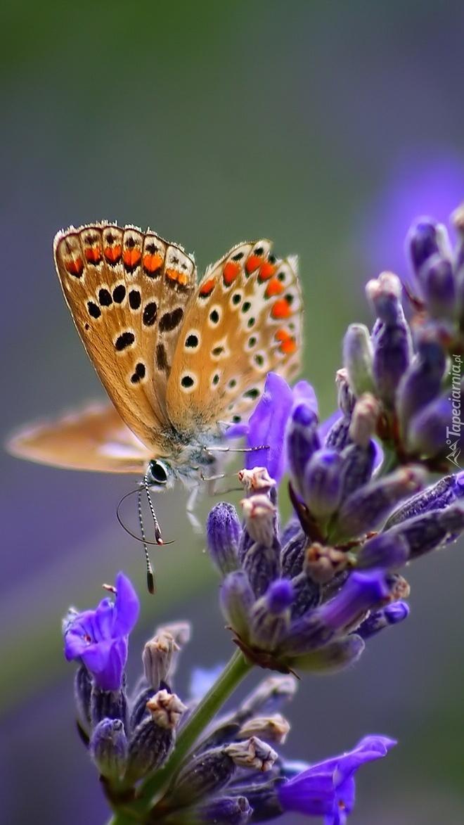 Motyl zwabiony zapachem lawendy