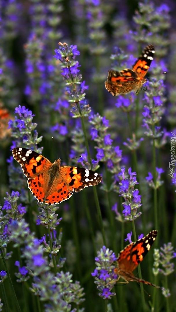 Motyle na lawendzie