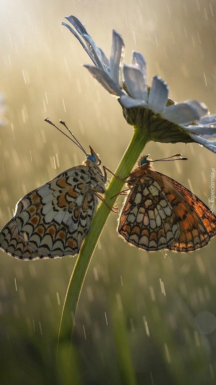 Motyle przeplatki na margaretce