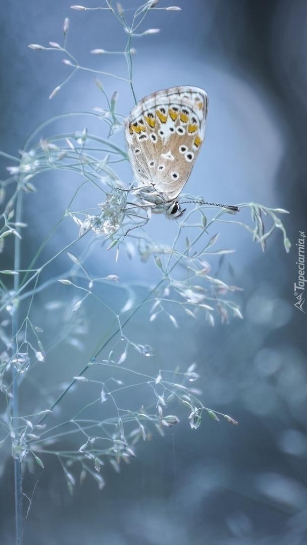 Motylek huśtający się na źdźble trawy