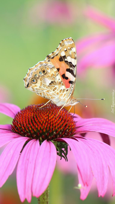 Motylek na jeżówce