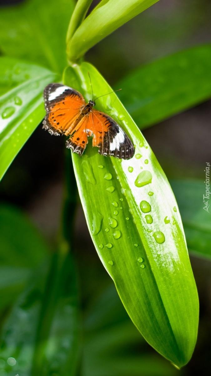 Motylek na liściu w kroplach