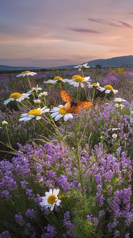 Motylek na rumianie polnym